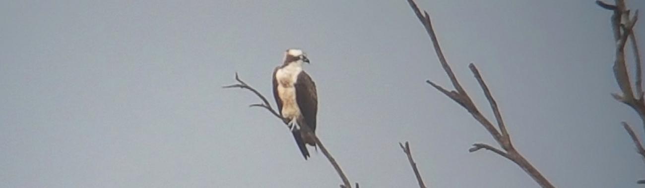An osprey.full