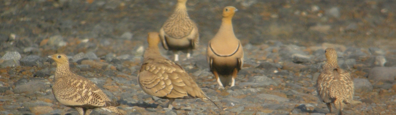Sandgrouse banner.full